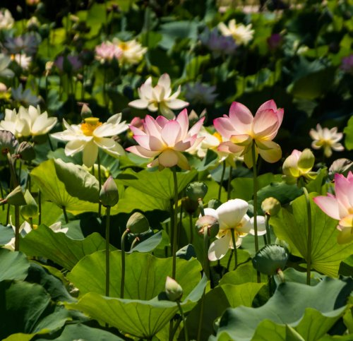 Postponed: 2020 Lotus Festival in Echo Park
